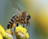 How bees could put an end to a swollen prostate...